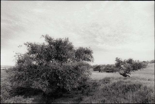 Twilight Willow