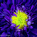Purple Japanese Aster 0011