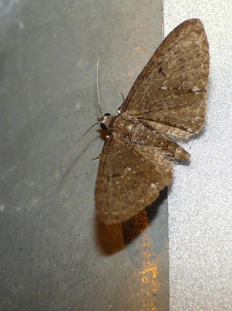 White-spotted Pug