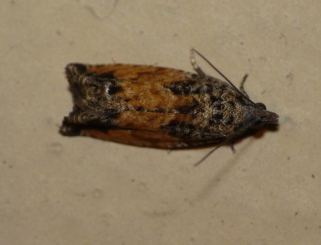 Epinotia Nisella f. Decorana