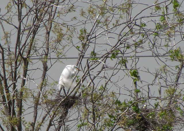 Great Egret at a Rookery