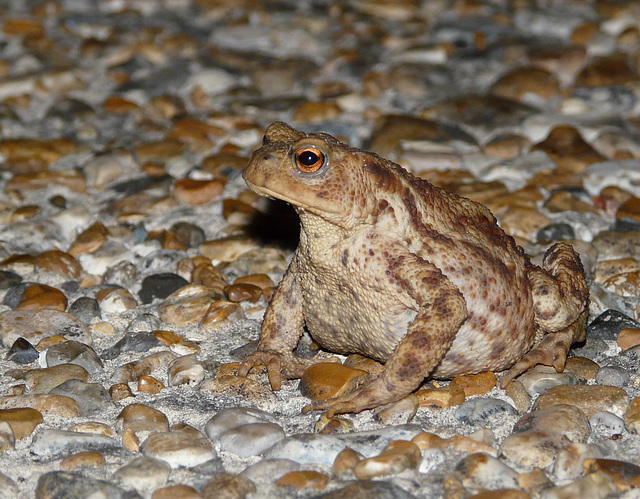 Fat Common Toad