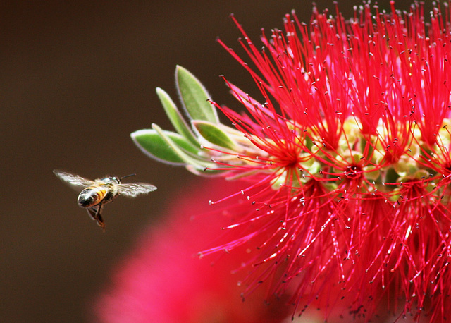 Honeybee at the Bottlebrush
