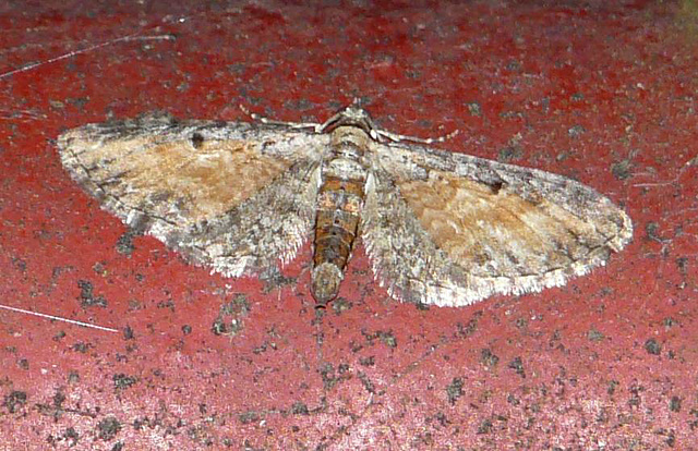 Tawny Speckled Pug
