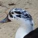 Duck Portrait