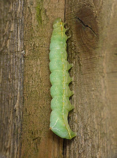 Cooper The Caterpillar