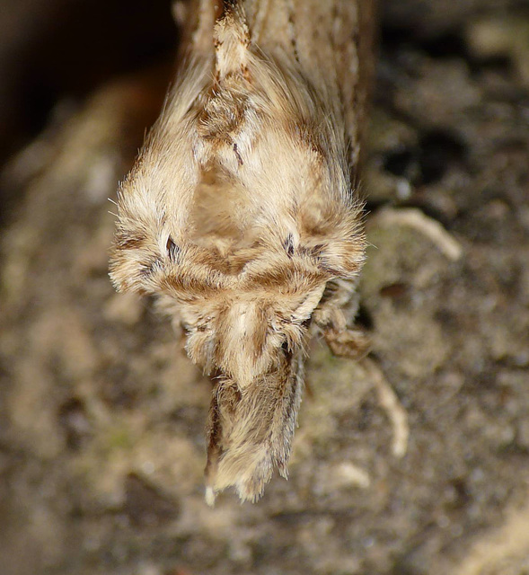 Pale Prominent 1 -Face