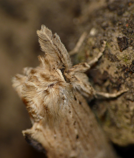 Pale Prominent 2 -Face