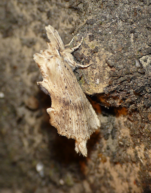 Pale Prominent 1 -Side