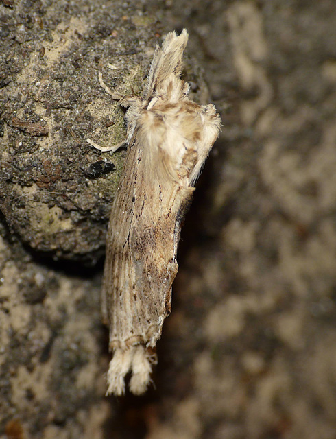 Pale Prominent 1 -Top