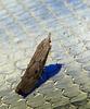 Bee Moth -Female