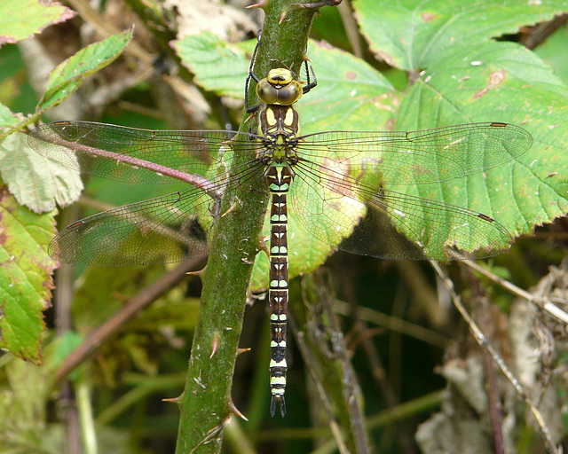 Southern Hawker Male -Top