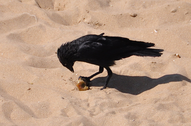 Rook eating an apple