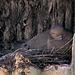 Dove Nesting in a Saguaro Cavity