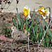 Mourning Dove and Daffodils