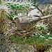 Inca dove on nest