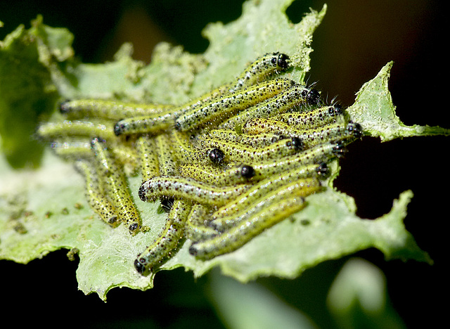 Patio Life: Large White Butterfly Caterpillars