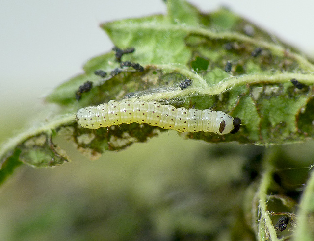 Common Quaker Caterpillar Around 2nd Instar