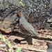Gambrel's quail
