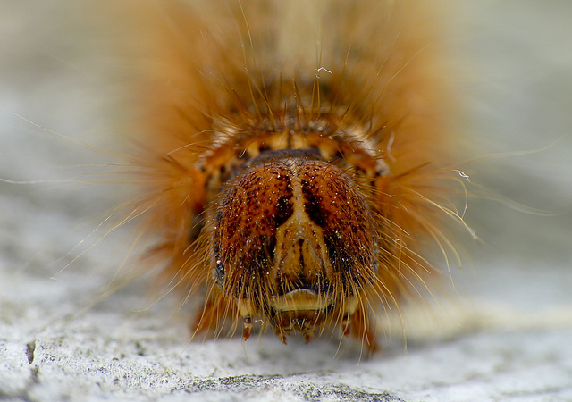 Oak Eggar Caterpillar Face