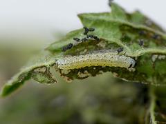 Common Quaker Caterpillar Around 2nd Instar