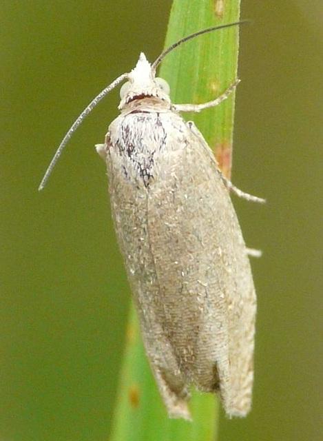Cnephasia longana