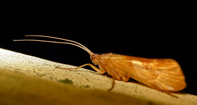 Limnephilus rhombicus -Caddis Fly 4