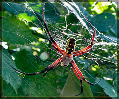 Golden Orb Weaver Backlit by Sun