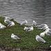 Ring-billed Gull Flock