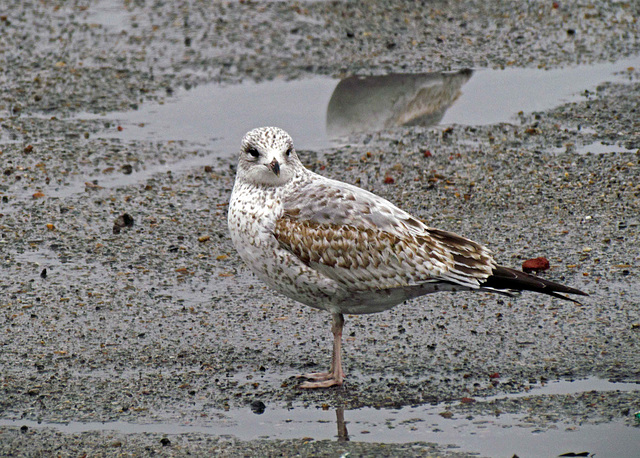Yearling Ring-billed Gull