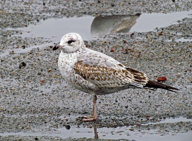Yearling Ring-billed Gull