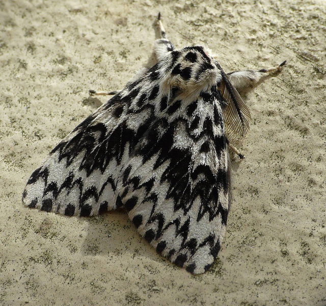 Black Arches Moth -Top
