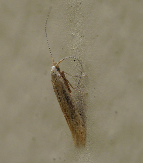 Coleophora Adspersella