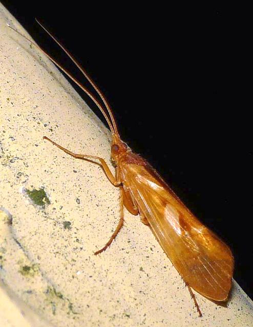 Limnephilus rhombicus -Caddis Fly 5