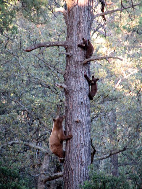 Black Bears at Reef Campground
