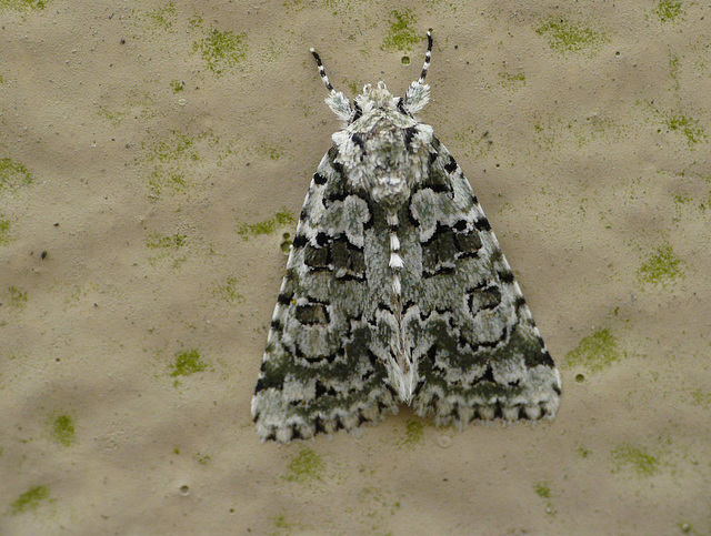Marbled Green Moth -Top