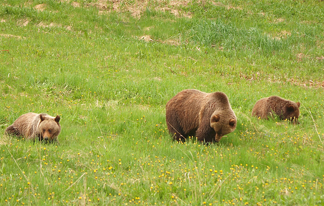 Canadian Rockies - Grizzly Bears
