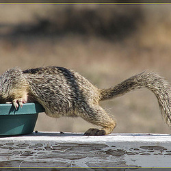 Submarine Squirrel