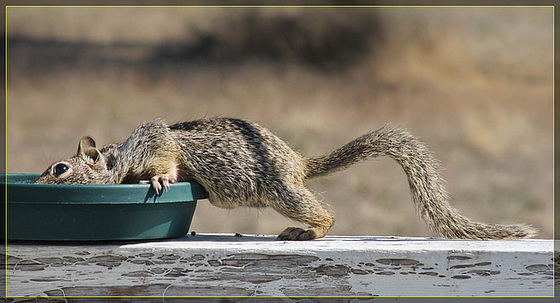 Submarine Squirrel