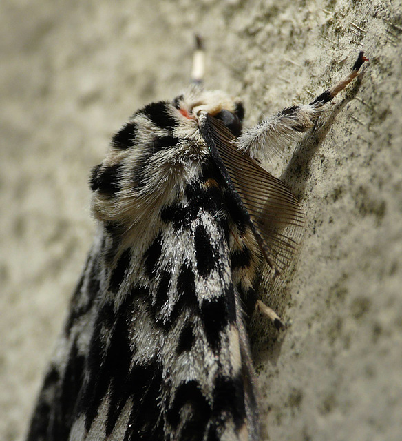 Black Arches Moth -Side