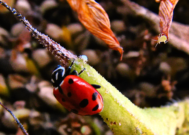Lady Bug & Aphids