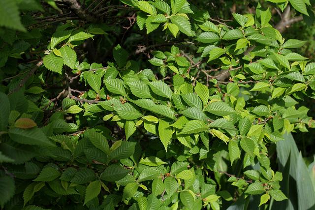6-Ulmus parviflora ' Jacqueline Hillier '