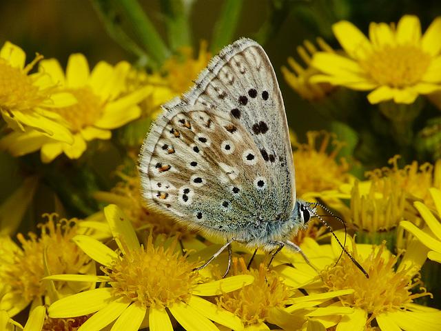 Chalkhill Blue Male