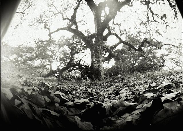 pinhole oaks