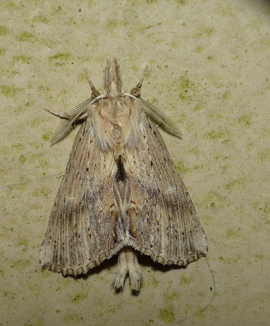 Pale Prominent -Open