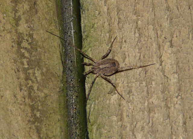 Huntsman Bug