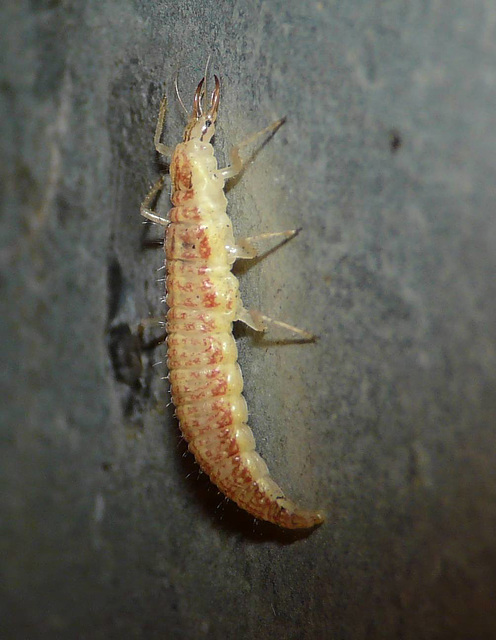 Lacewing Larva without Junk