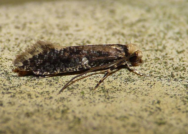 Skin Moth