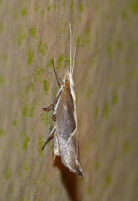 Honeysuckle Moth -Side