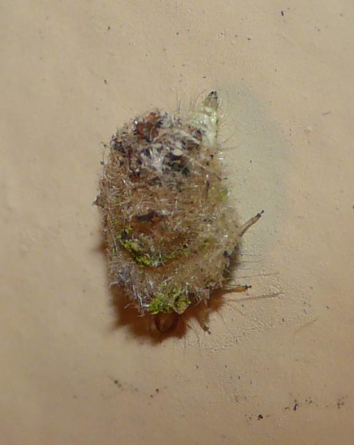 Lacewing Larva and Collection